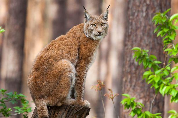=^_^= Котики =^_^= - Страница 14 Lynx-c10