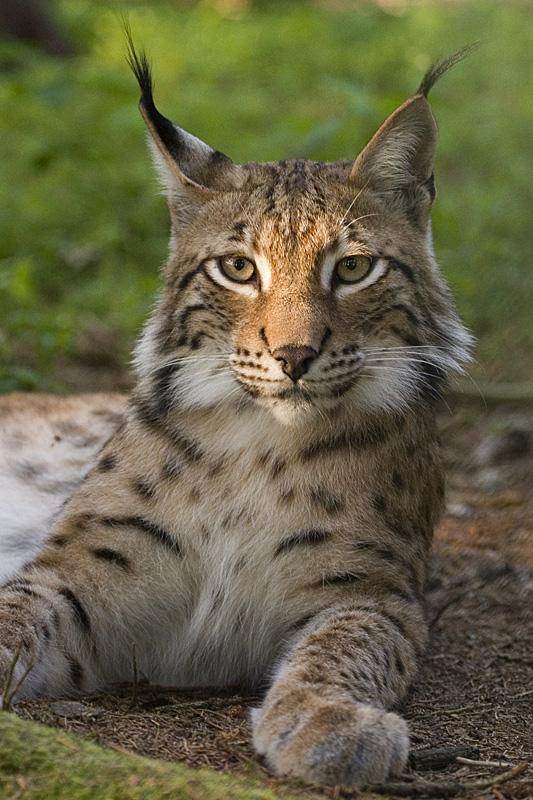=^_^= Котики =^_^= - Страница 14 Lynx_l10