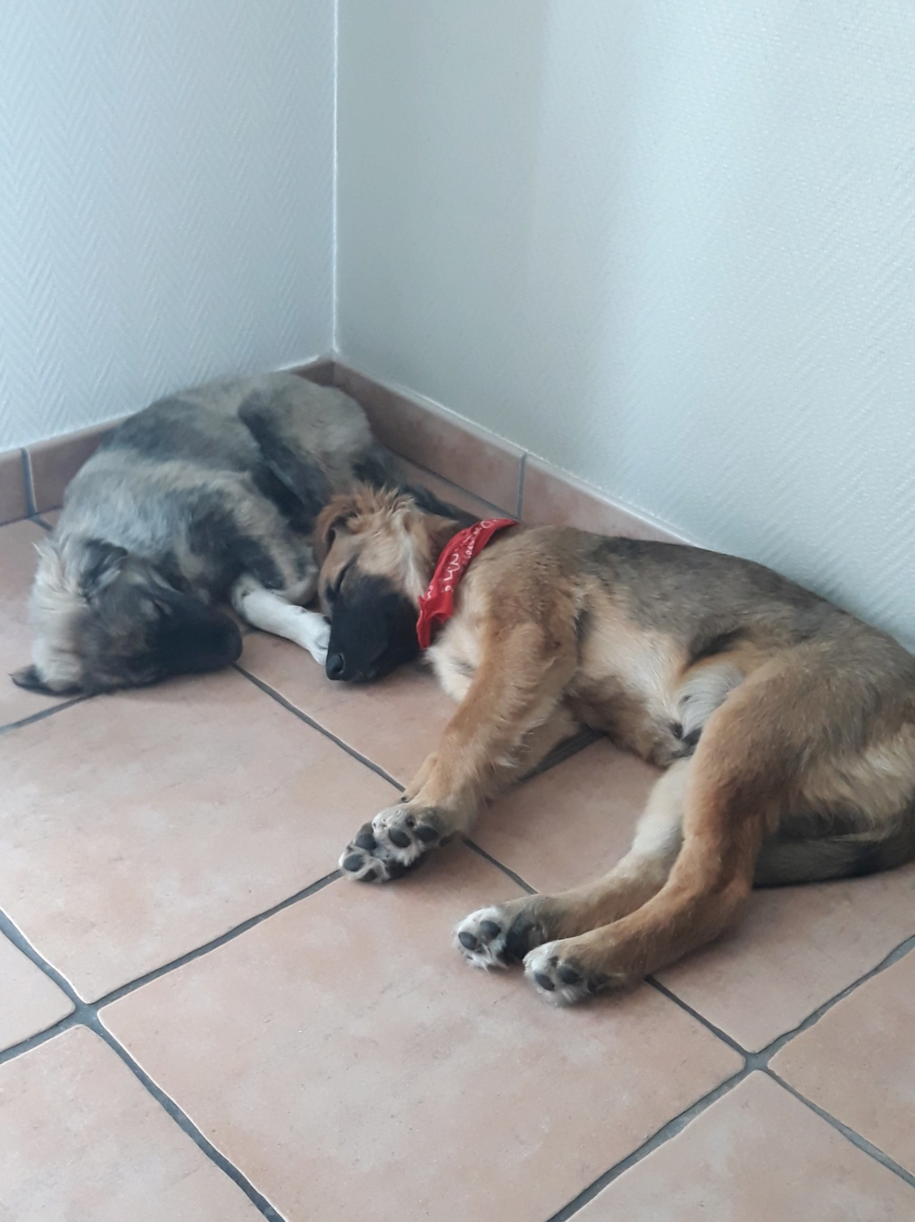 Ace (ex-Milano) - mâle - chez Andreea (Târgu Frumos) - réservée adoption (67) 36596311