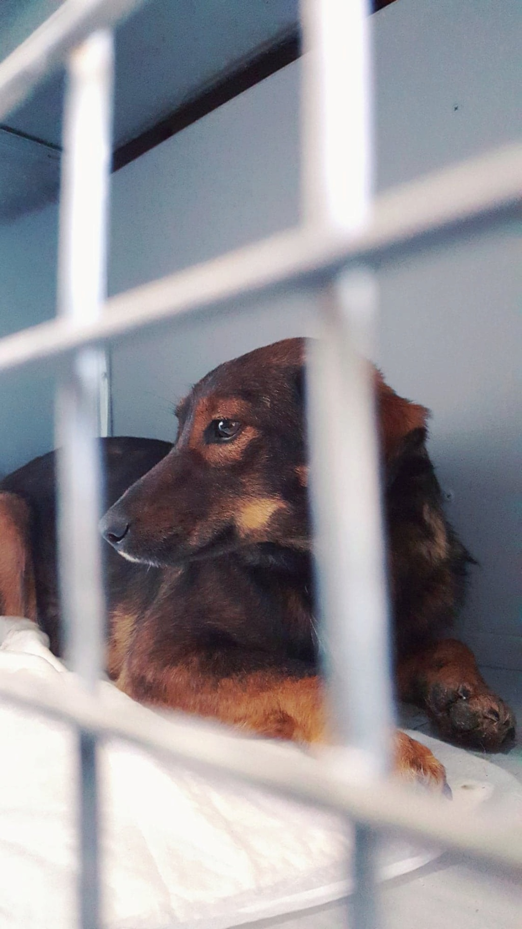 Mila (ex-Brownie) - femelle - refuge de Târgu Frumos  - adoptée (67) 45705310