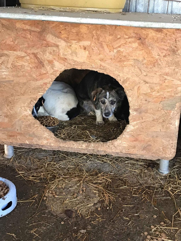 Nutela - chienne femelle - refuge de Târgu Frumos - en famille d'accueil dans le 68 50082510