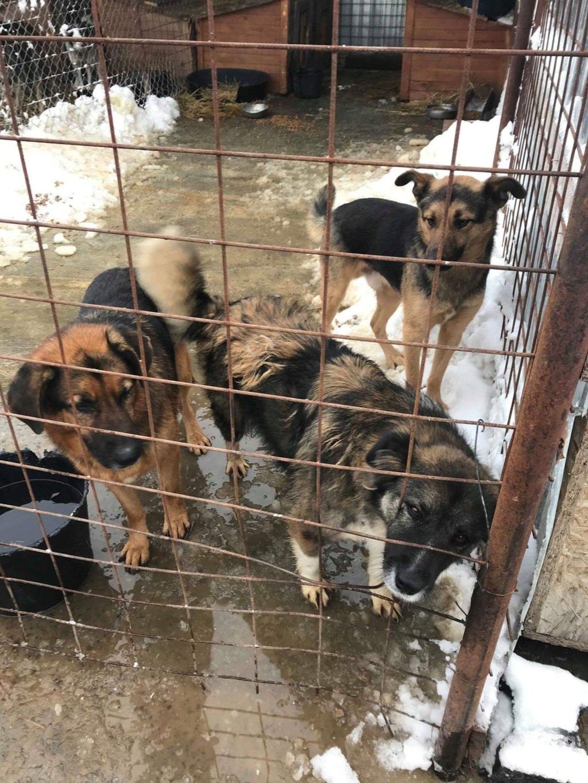 Minos - mâle à Targu Frumos - en famille d'accueil dans le 67 - réserve adoption (01) 90743110