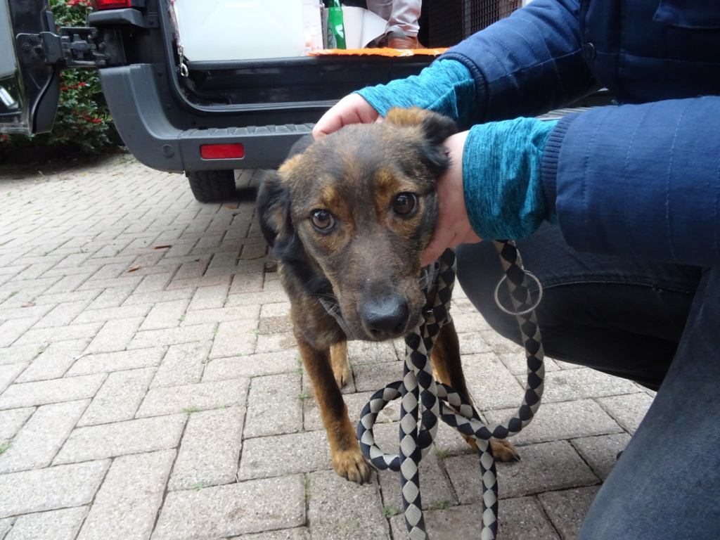 Mila (ex-Brownie) - femelle - refuge de Târgu Frumos  - adoptée (67) Dsc00211