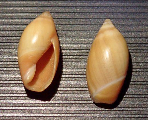 Ancilla lineolata (A. Adams, 1853) Ancill10