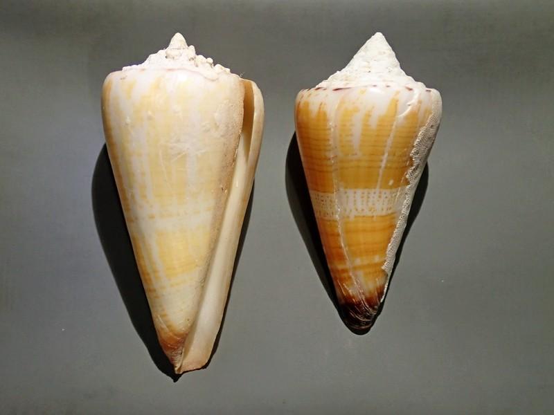 Conus (Strategoconus) maldivus - Hwass in Bruguière, 1792 C111