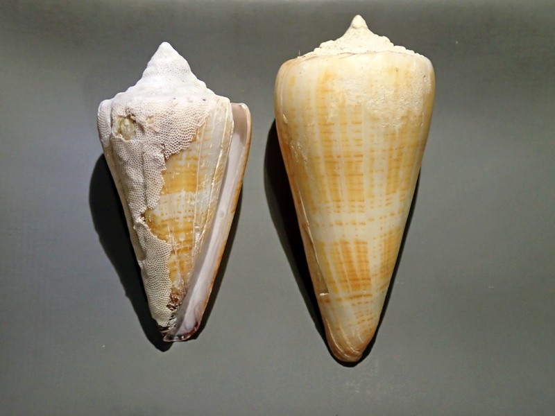 Conus (Strategoconus) maldivus - Hwass in Bruguière, 1792 C210