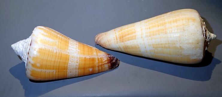 Conus (Strategoconus) maldivus - Hwass in Bruguière, 1792 C311