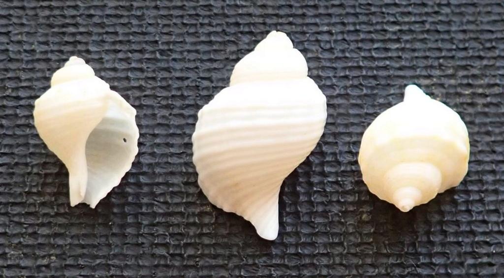Coquilles qui résistent: peut être Linatella caudata T210