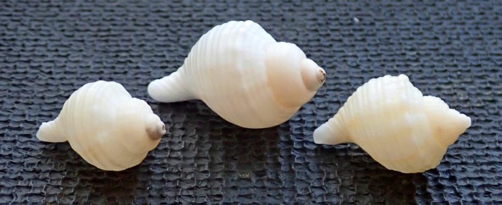 Coquilles qui résistent: peut être Linatella caudata T411