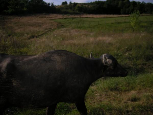 Quelques photos de mon périple dans les Carpates Boeuf_10