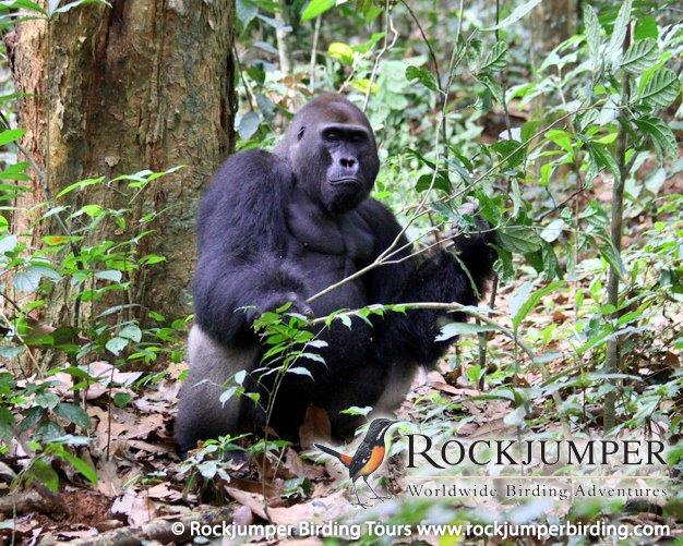 Tarzan  Gorill10