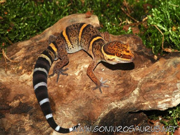 Recherche d'informations sur une espèce de gecko Goniur10