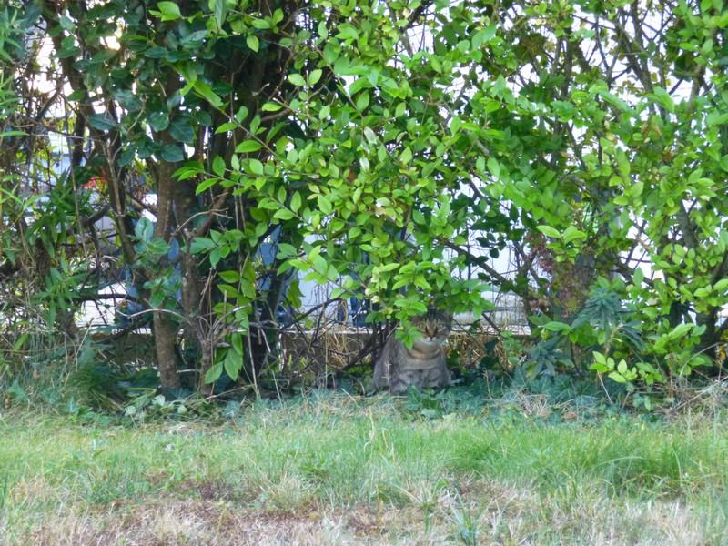 Nieves - Chatte marron tabby, type européen, née en mai 2017 P1060311