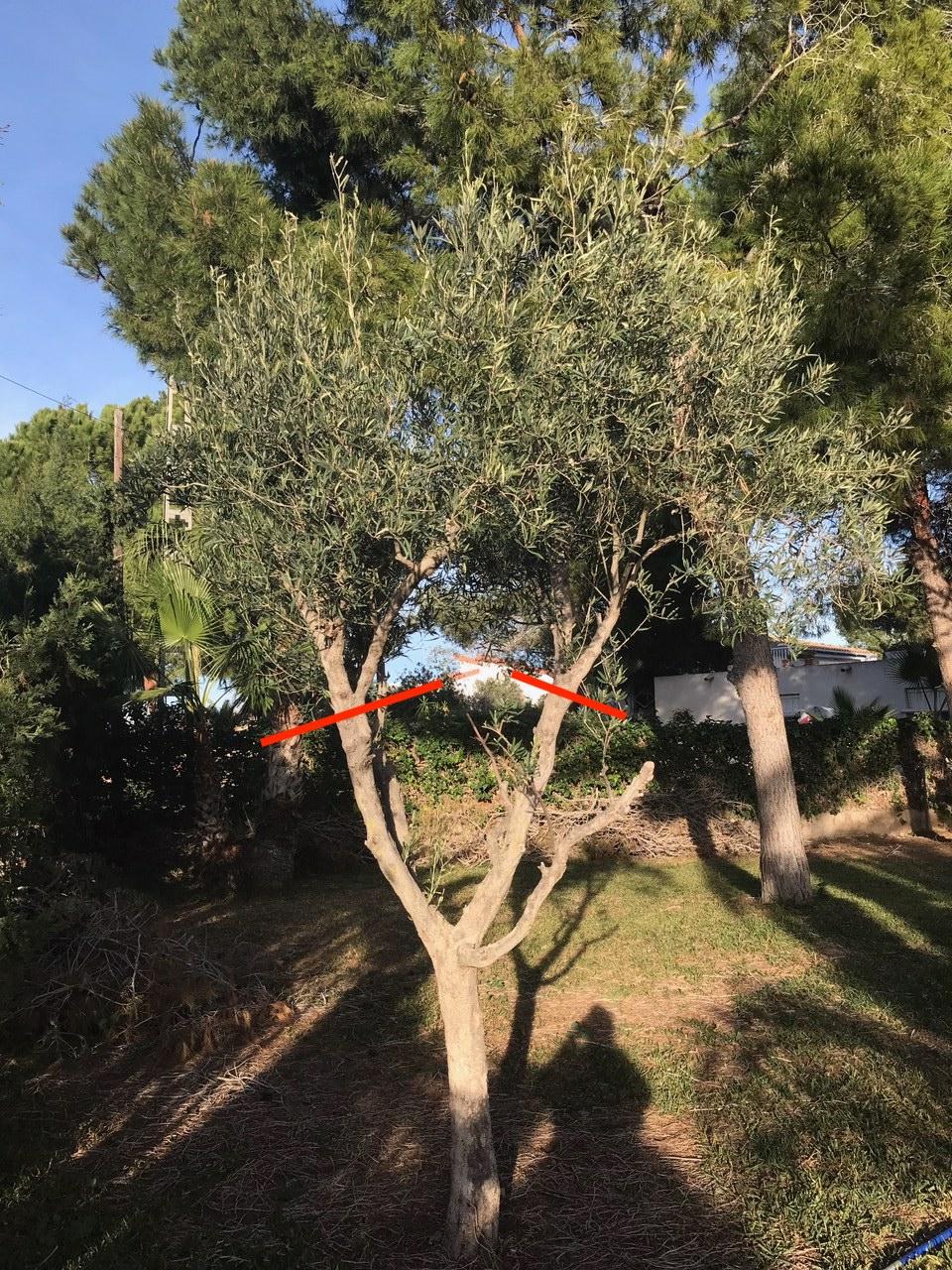 Ayuda poda olivo ornamental (Alicante) Img_2013