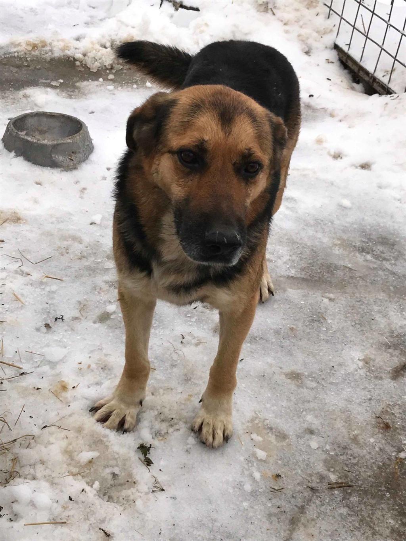 Ivanhoe- mâle- refuge de Targu Frumos 48388210