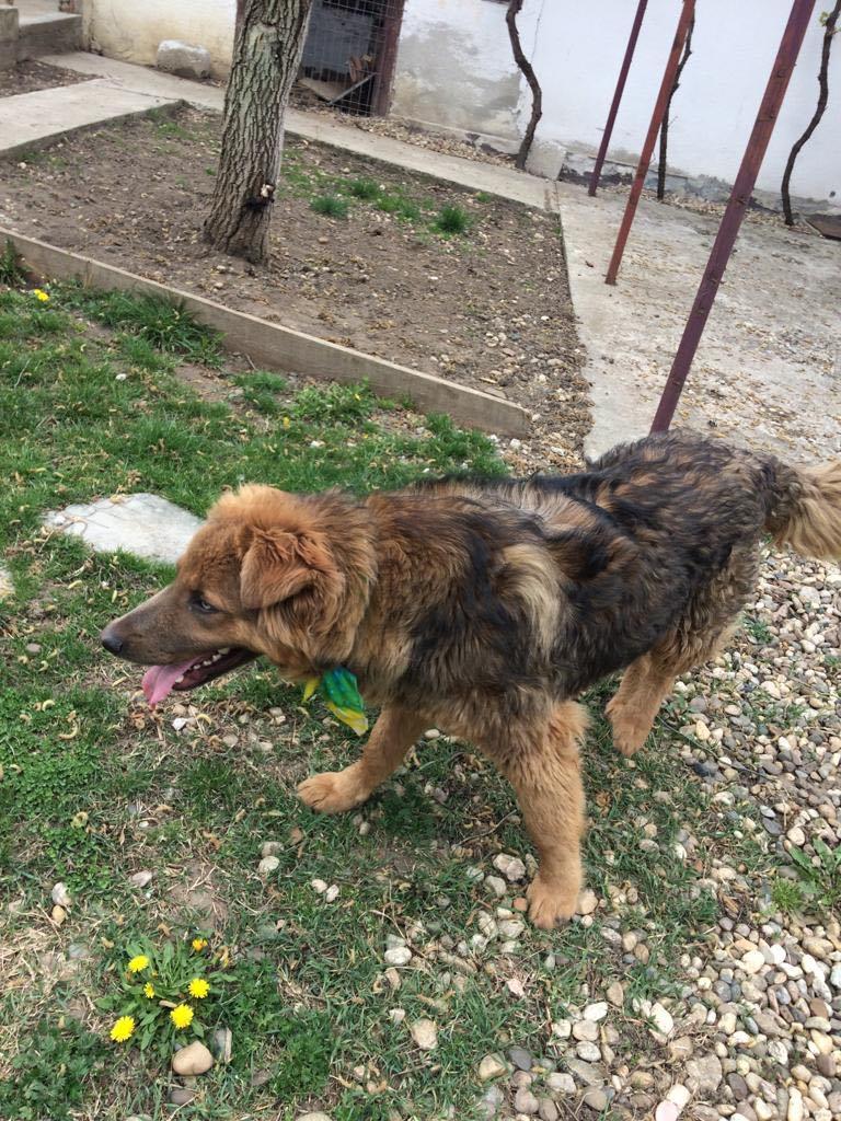 Koda (ex Bruno) -mâle- refuge d'Arad - réservé adoption 67 Bruno_23
