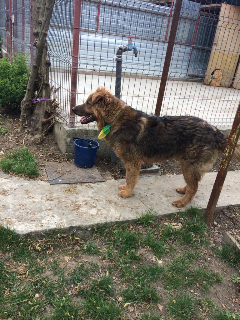 Koda (ex Bruno) -mâle- refuge d'Arad - réservé adoption 67 Bruno_25
