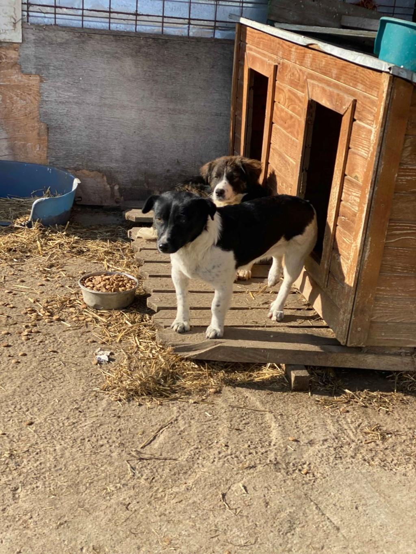 Olympe- femelle- fourrière de Târgu Frumos - adoptée via Andreea Olympe11