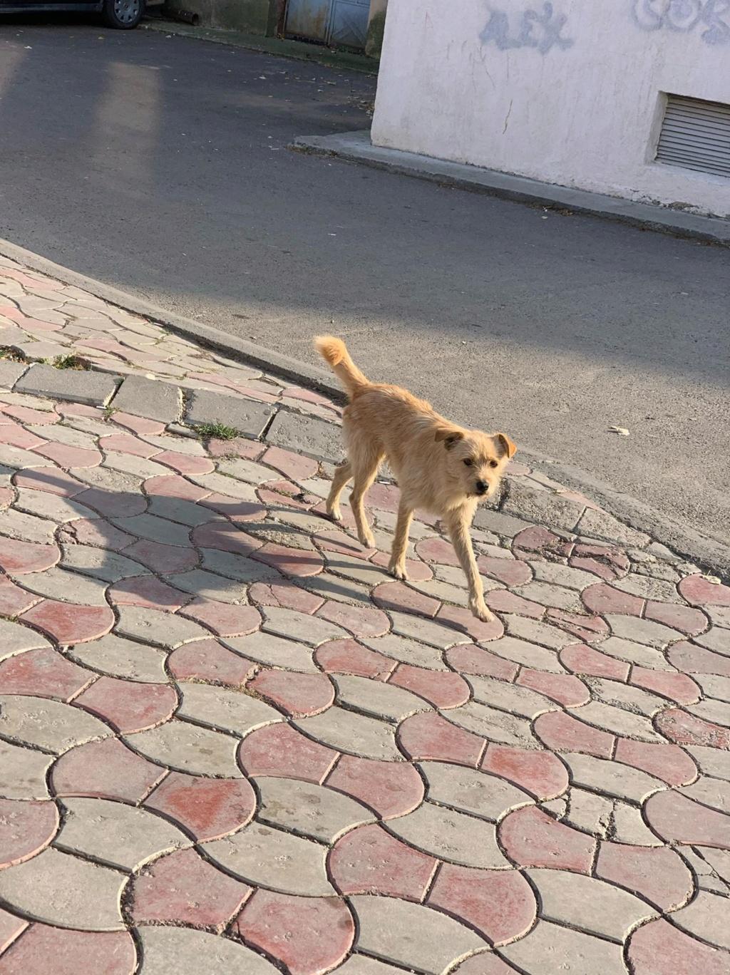 Pepito- mâle- dans les rues à Târgu Frumos Pepito14