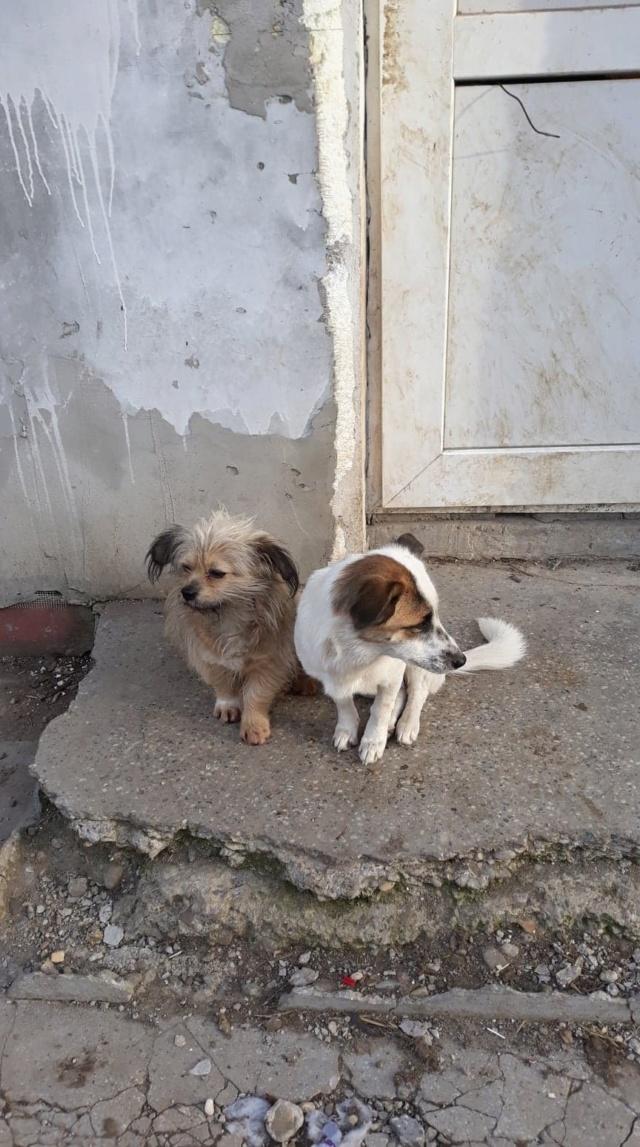 Pimkie- femelle- fourrière de Targû Frumos - sera en famille d'accueil dans le 67 en mai Pimkie12