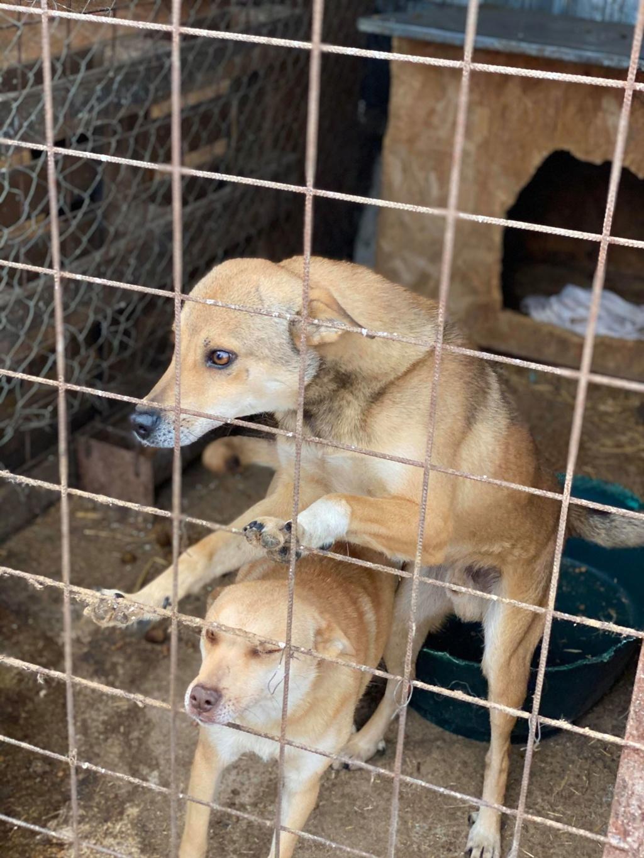 Puma- mâle- fourrière de Târgu Frumos adopté en Roumanie Puma_110