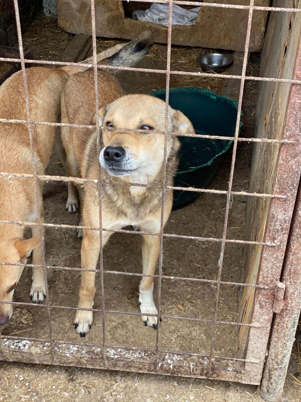 Puma- mâle- fourrière de Târgu Frumos adopté en Roumanie Puma_310