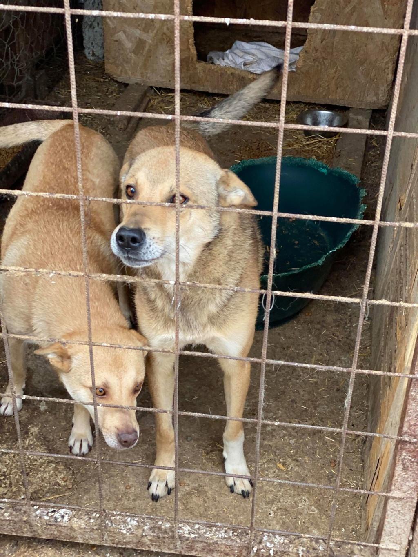 Puma- mâle- fourrière de Târgu Frumos adopté en Roumanie Puma_510