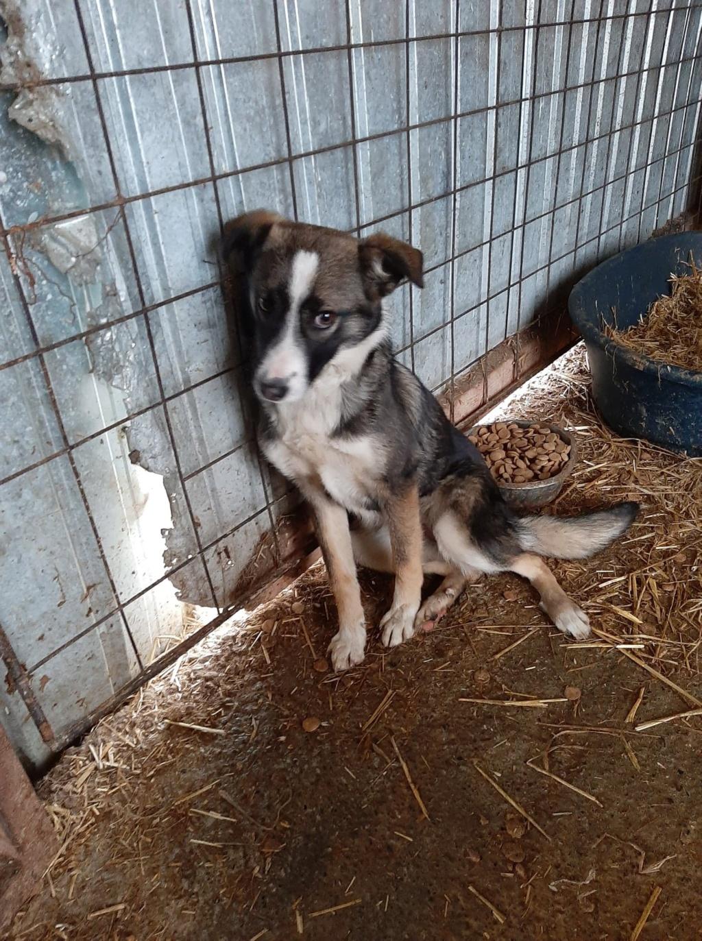 Soura- femelle- fourrière de Târgu Frumos- réservé adoption (67)  Soura_10
