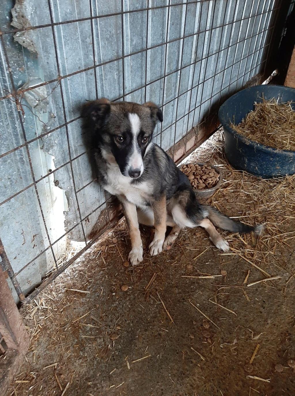 Soura- femelle- fourrière de Târgu Frumos- réservé adoption (67)  Soura_11