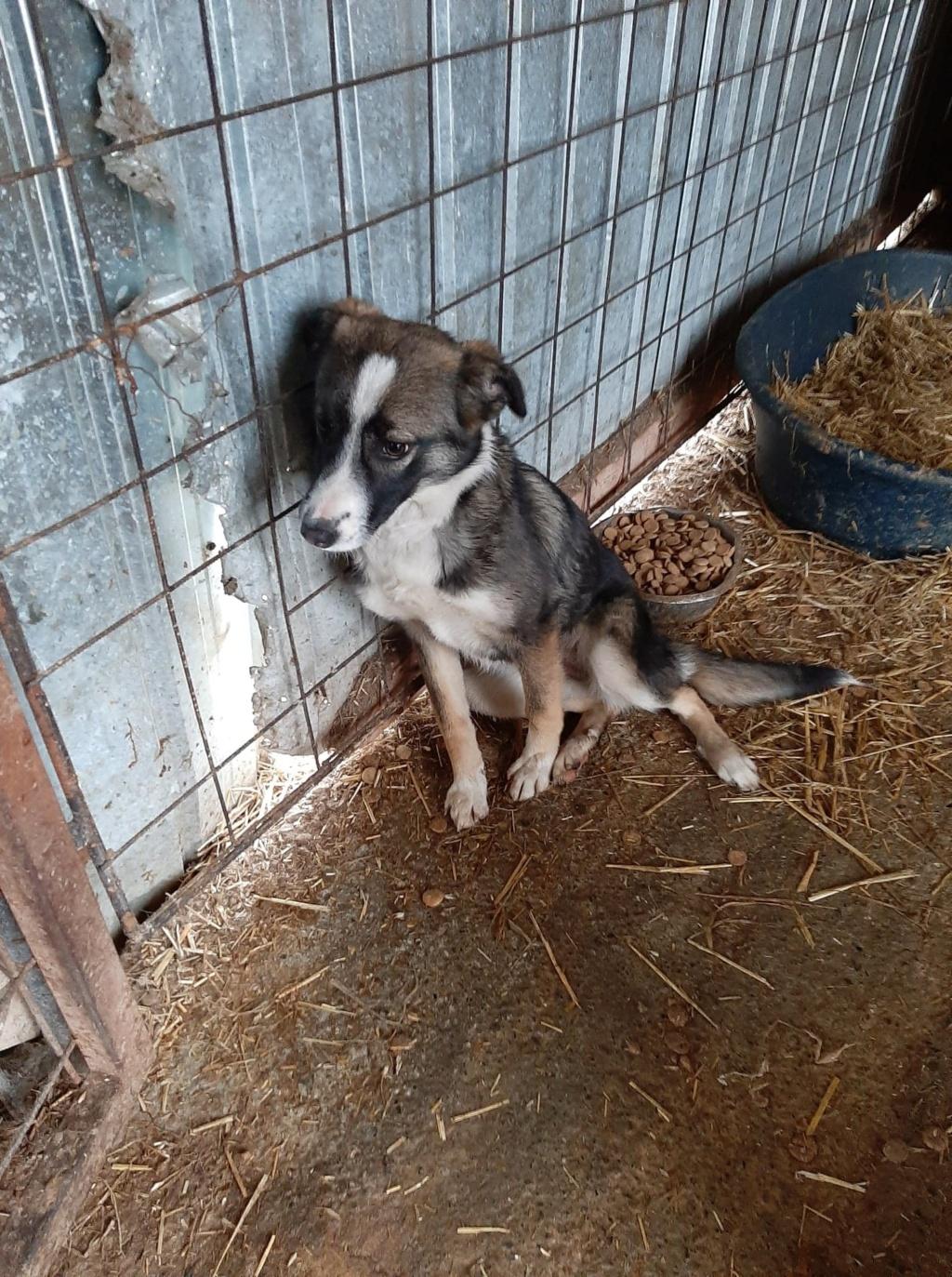 Soura- femelle- fourrière de Târgu Frumos- réservé adoption (67)  Soura_12