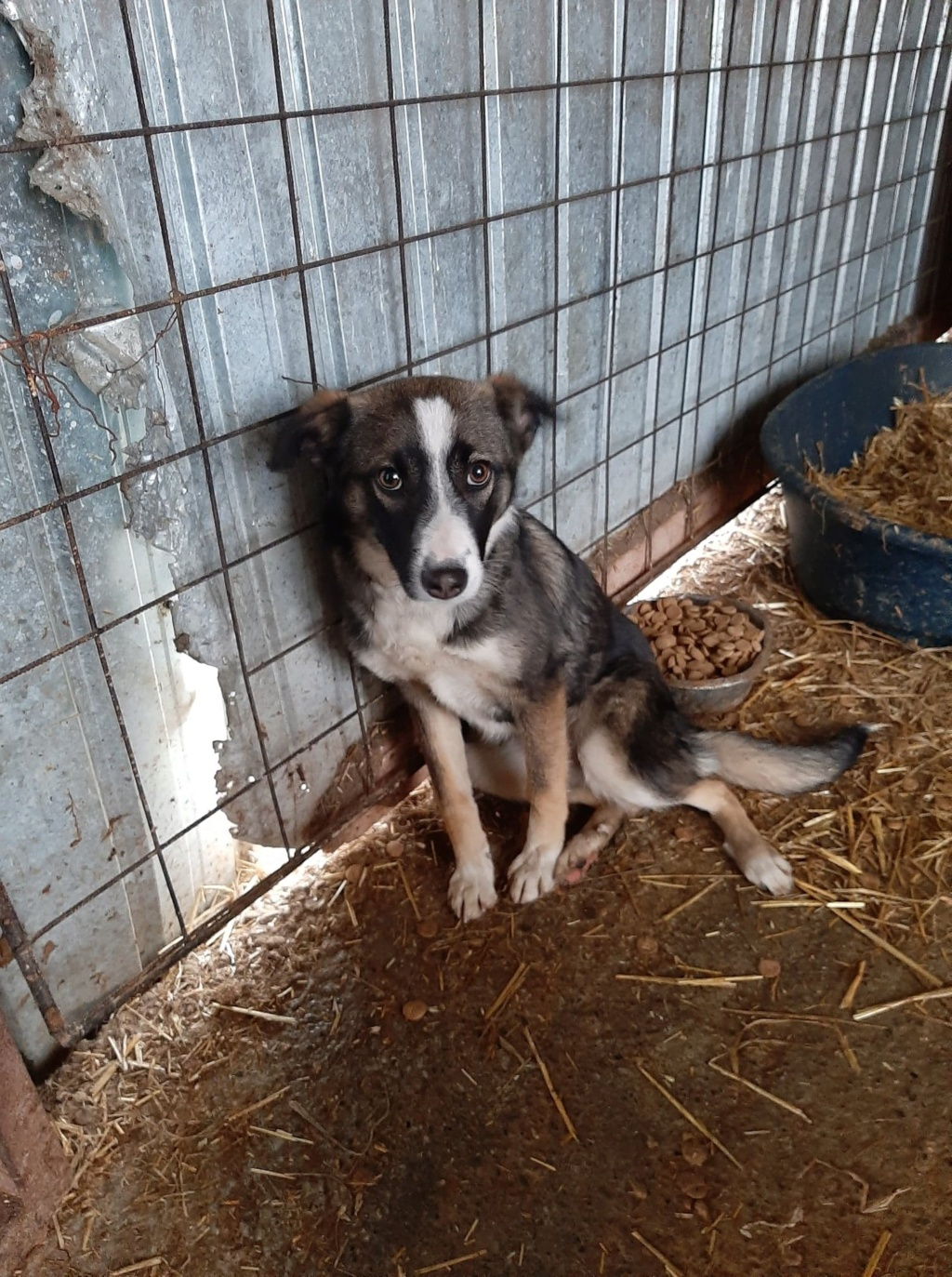 Soura- femelle- fourrière de Târgu Frumos- réservé adoption (67)  Soura_13
