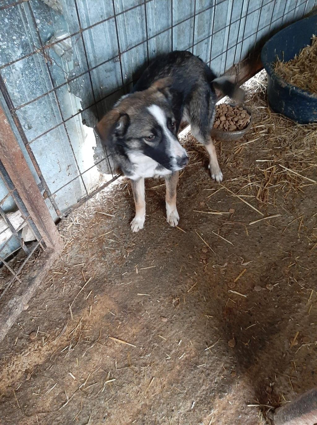 Soura- femelle- fourrière de Târgu Frumos- réservé adoption (67)  Soura_14
