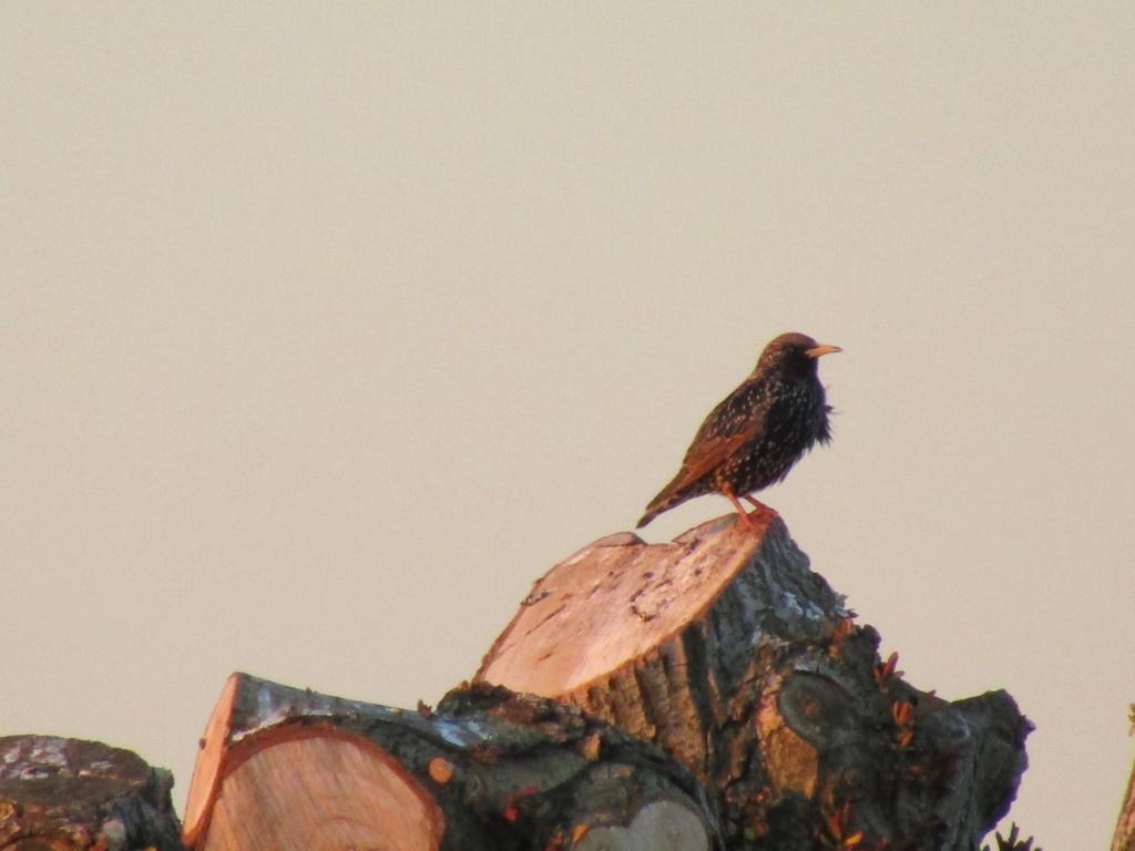 photographie d'oiseaux Etourn10