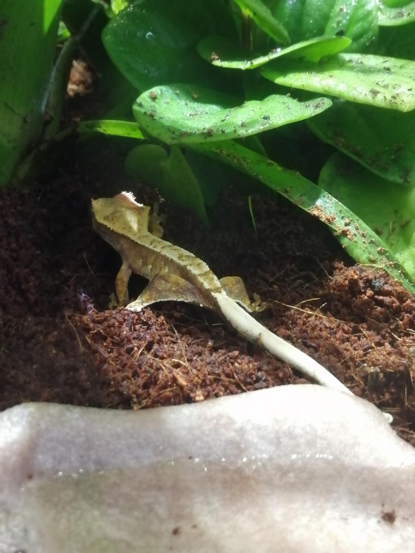 Projet terrarium et suivi d'un gecko  - Page 2 Img_2222