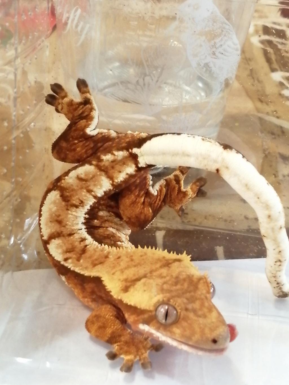 Projet terrarium et suivi d'un gecko  - Page 3 Img_2359
