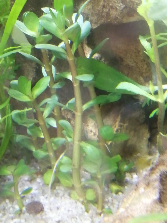 Identification plante aquatique  Img_2383