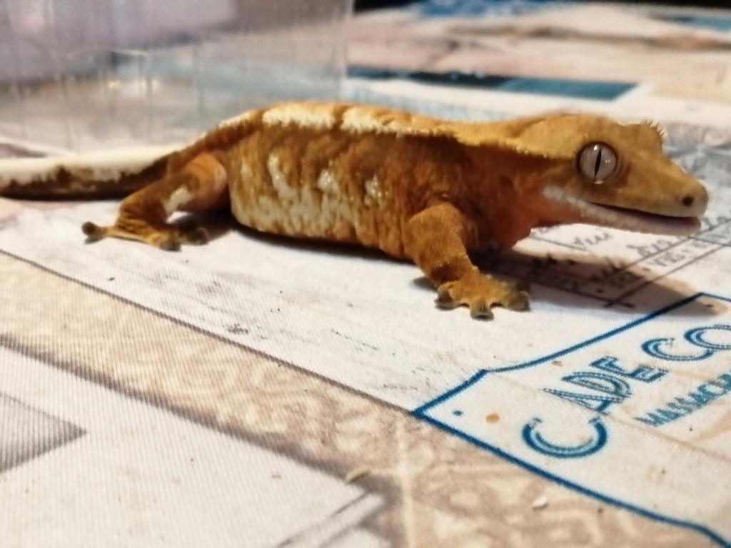 Projet terrarium et suivi d'un gecko  - Page 3 Img_2385