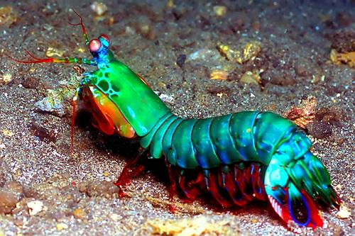 Une créature surprenante ?!  Mantis10