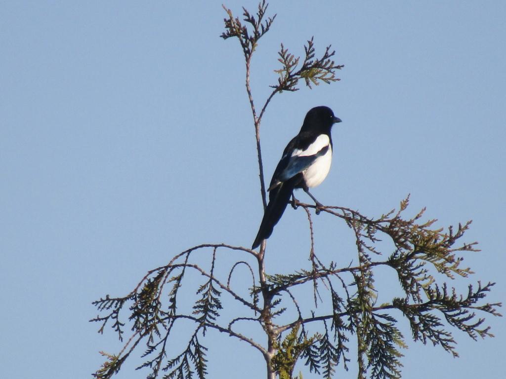 photographie d'oiseaux Pie_ba10