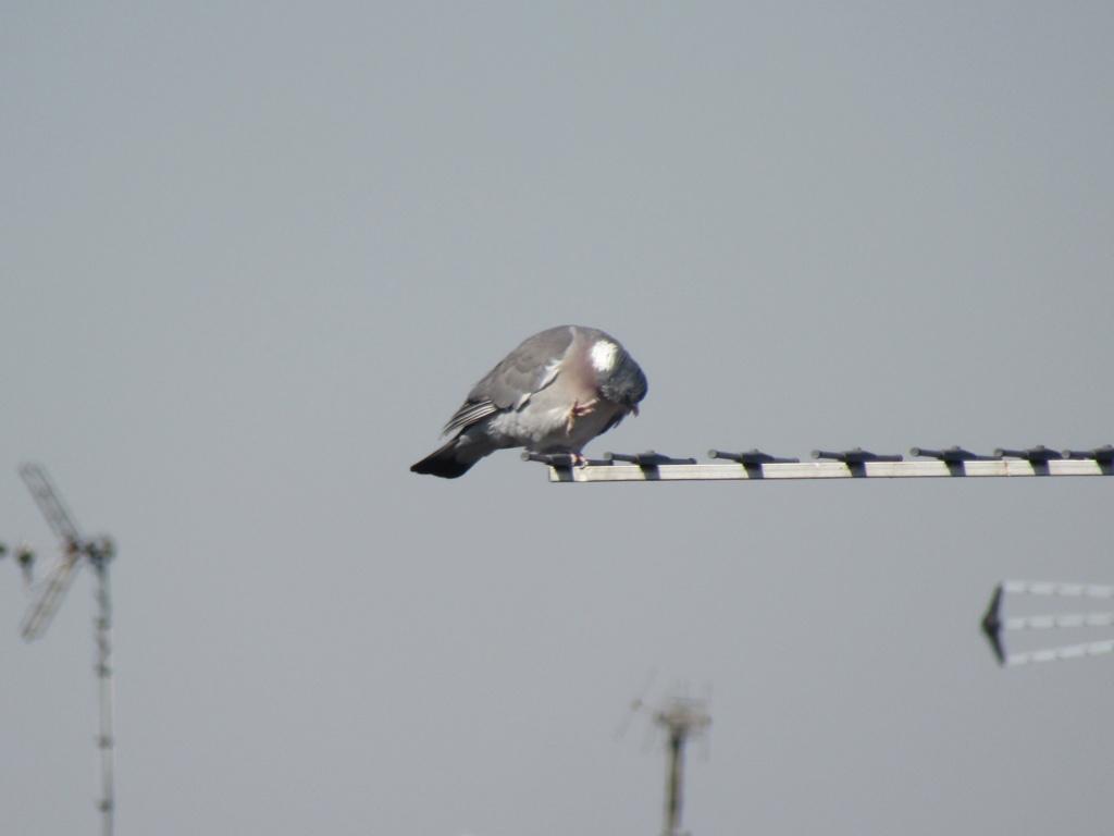 photographie d'oiseaux Pigeon10