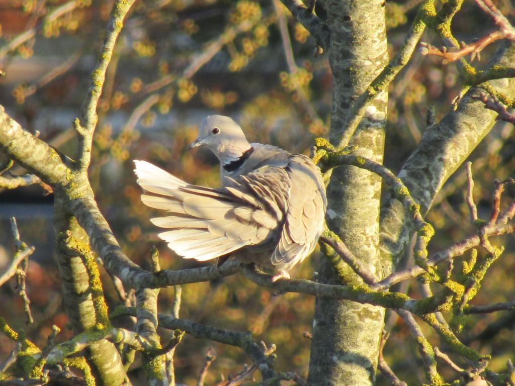 photographie d'oiseaux Tourte10