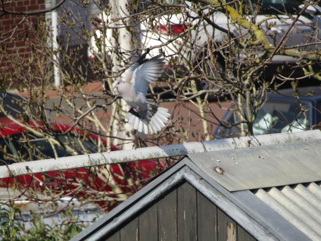 photographie d'oiseaux Tourte11
