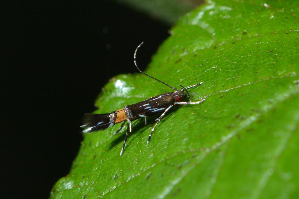 Cosmopterix pulchrimella Cosmop10