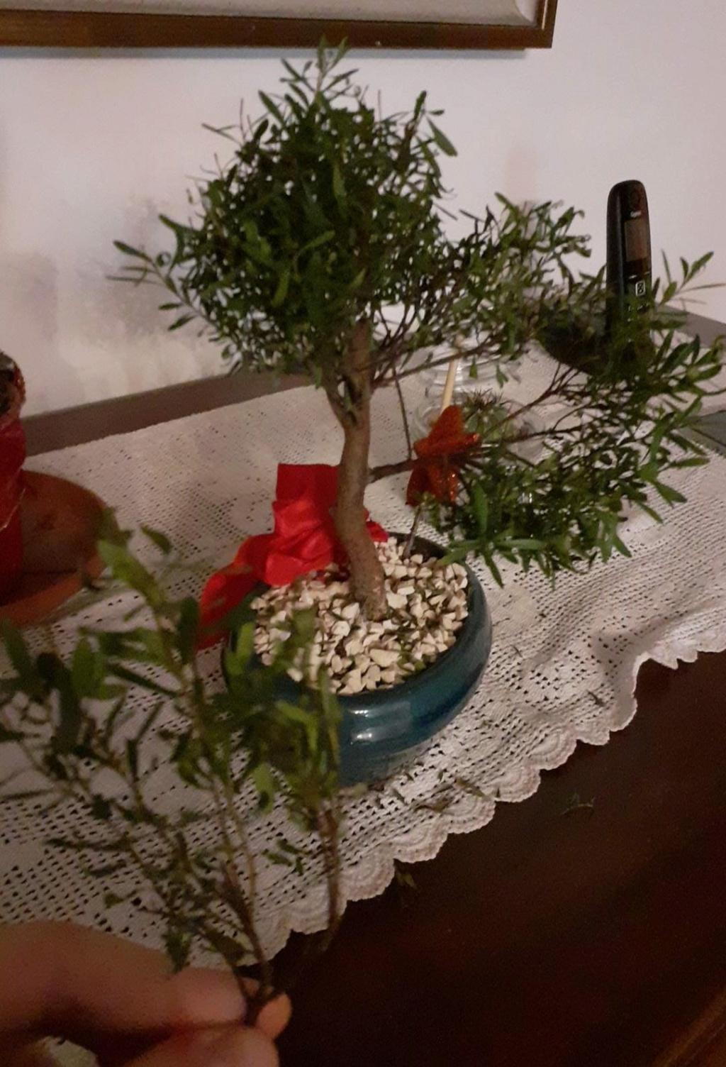Aiuto! Identificazione e consigli bonsai Whatsa11