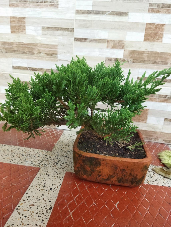 Quien sería tan amable de ayudar a alguien nuevo en este hermoso mundo del bonsai? - Warrod -  Img_2010
