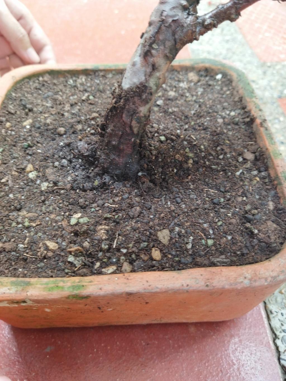 Quien sería tan amable de ayudar a alguien nuevo en este hermoso mundo del bonsai? - Warrod -  Img_2018