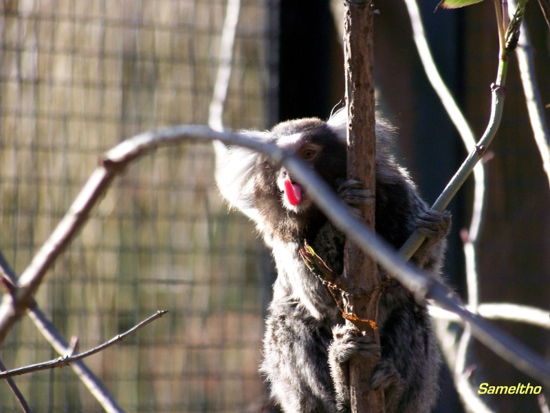 Le ouistiti à toupet blanc (Callithrix jacchus) 100_0311