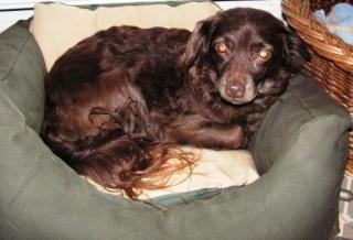 CHOCOLATINE, épagneul femelle de 6/7 ans (Cani Séniors) (Filleule de Patoune) 95238410