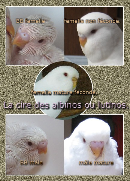 le sexe de ma perruche skizo Albino10