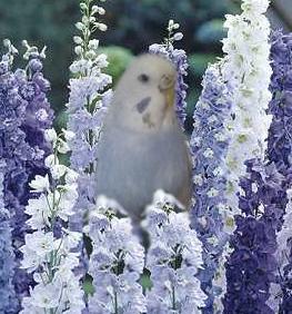 Premières perruches : Pistache & Sans nom pour le moment Delphi10
